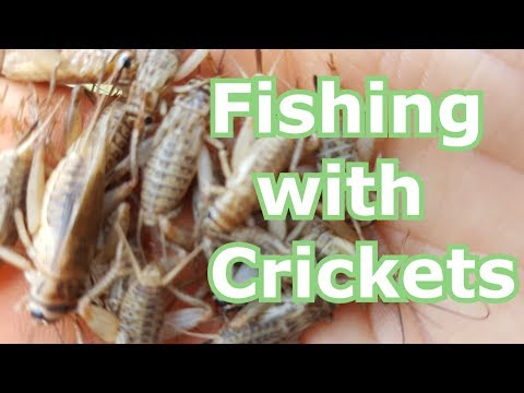 Fishing With Live Crickets For Bluegill, Panfish, Bream- How To Hook