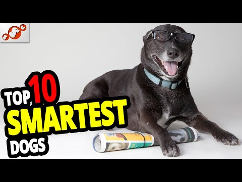 🐕-smartest-dogs---top-10-smartest-dog-breeds-in-the-world!