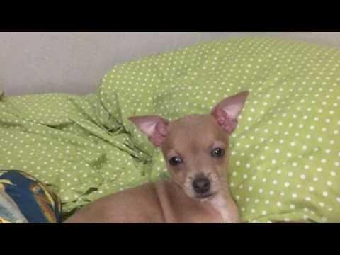 Первые дни дома, щенок той-терьера 2,5 месяца