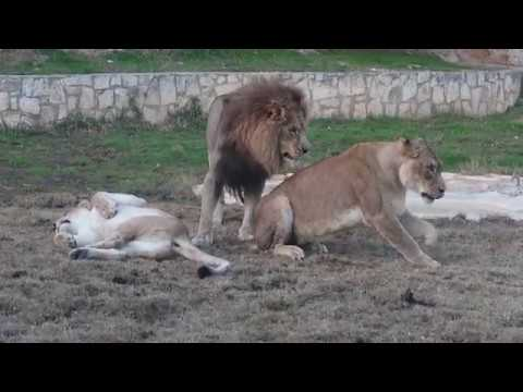 Animal Attack: Jealous Lion?
