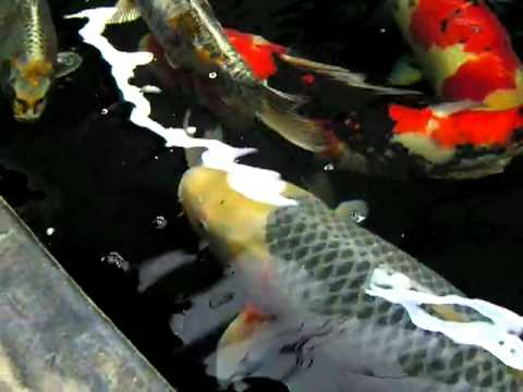 Massive koi carp at the japanese koi company youtube for Keeping koi carp