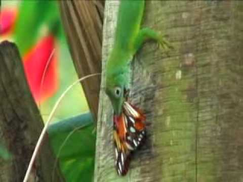 lizard-attacks-butterfly---and-more-.-.-.