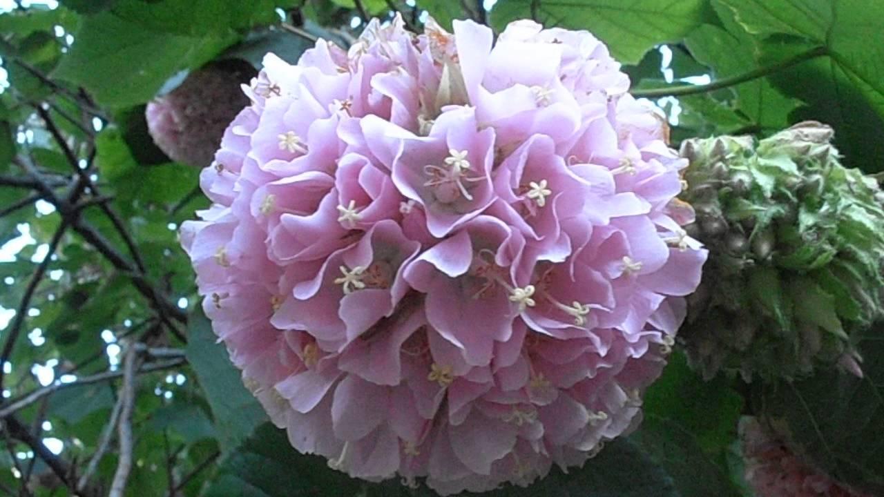 Rbol de las hortensias dombeya x cayeuxii youtube - Cuidados de las hortensias ...