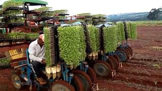 Plantando tomate em Piracanjuba Go