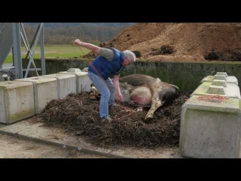 Composting Large Animal Mortalities on Farm