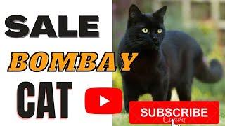 Sale Bombay Cat ll दिल्ली में सबसे सस्ती कैट पहली बार  ll persian black kitten for sale 9711272629