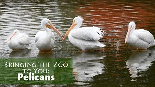 Bringing the Zoo to You: Pelicans