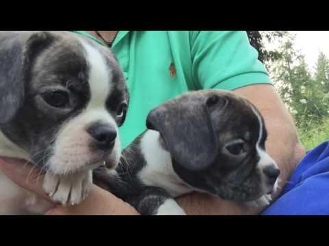 """Royal Frenchel Bulldog """"Loki"""""""