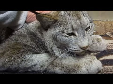 Huge Scary Looking Lynx Turns Into A Giant Sweetheart When Anyone Pets Him