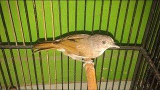 BURUNG SIKATAN LONDO/Common Nightingale UNJUK GIGI