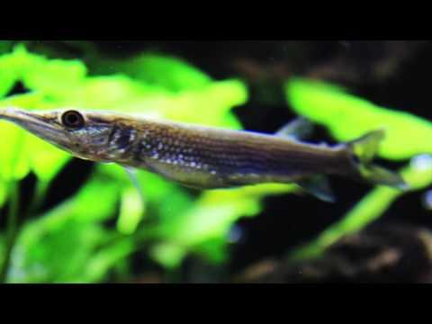 Species Spotlight - The Silver Gar - Episode 4