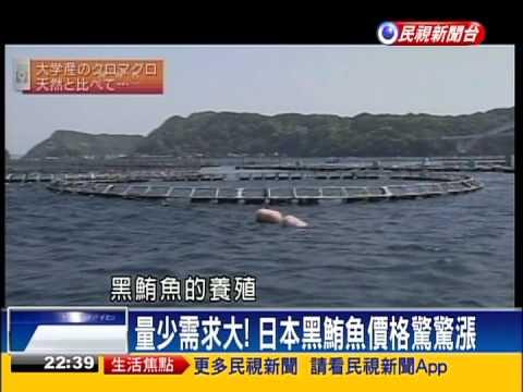 【民視全球新聞】人工養殖取代野生黑鮪魚 日本全球NO 1!