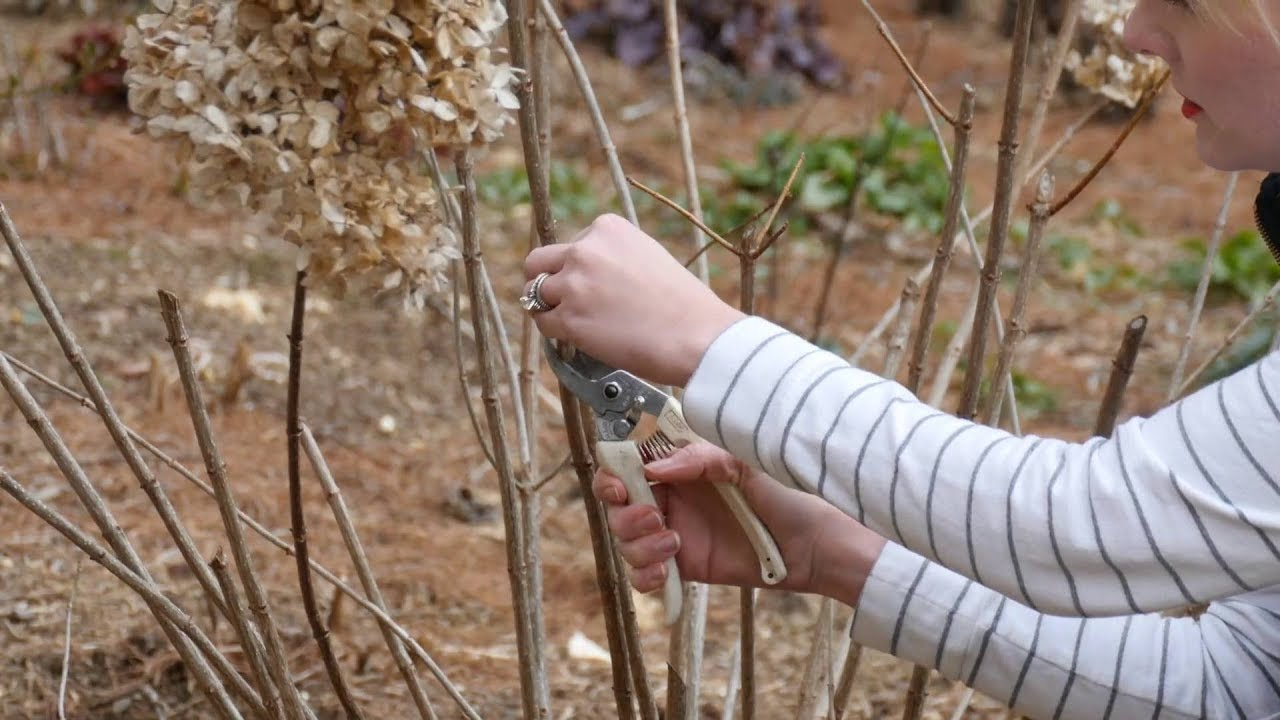 How To Prune A Limelight Hydrangea