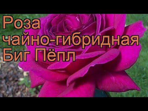Роза чайно-гибридная Биг Пёпл (rose Big Popl) 🌿 Биг Пёпл обзор: как сажать, саженцы розы Биг Пёпл