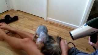Yorkshire Terrier - Fido Hair Dryer Slow Motion