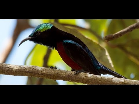 Chim hút mật 7 Màu ăn cám hột bao hót múa 2017 Sơn Hút Mật 033.4020.580