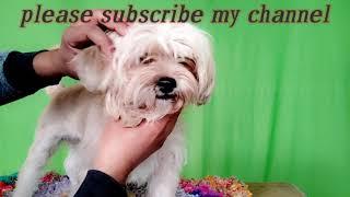 Lhasa apso dog breed /information