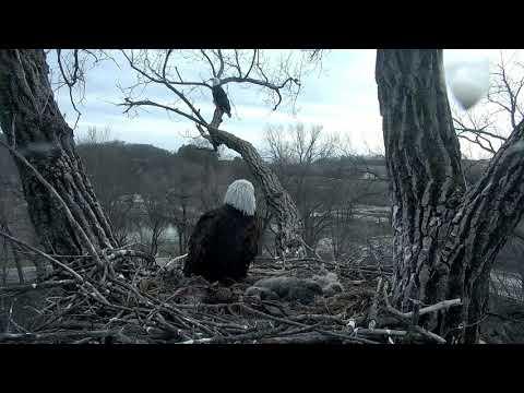 Decorah Eagles Unidentified Male Eagle Flies 2 SkyWalk 4/21/18