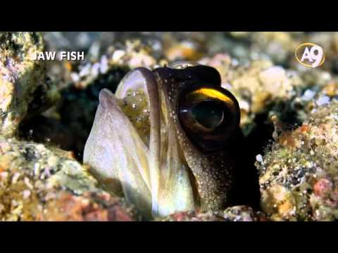 Jaw Fish - An exclusive documentary (Must watch)