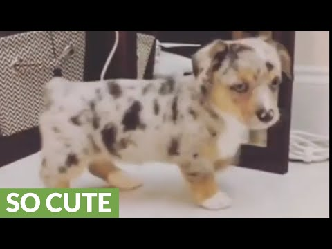 Corgi puppy plays with reflection in mirror