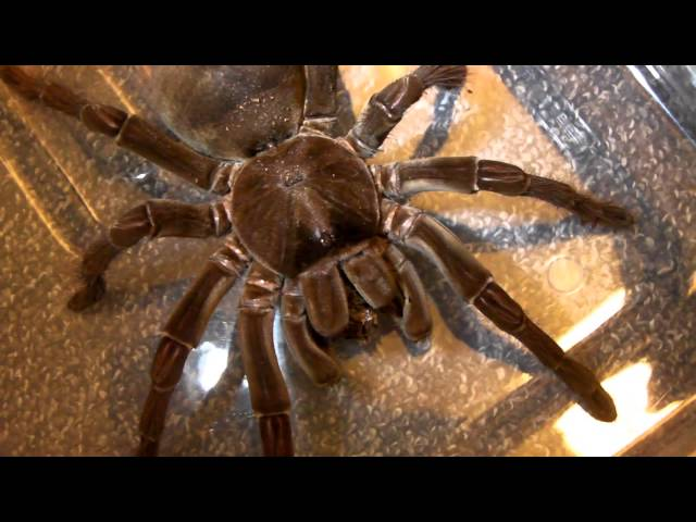 My Largest Tarantula (Charlotte) gets her enclosure cleaned!