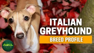 Italian Greyhound Dogs 101  A Compact Sighthound with a Captivating Personality