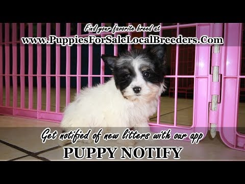 Biewer Yorkie Puppies For Sale Georgia Local Breeders Near Atlanta