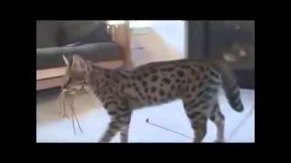 Самая большая кошка mp4
