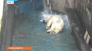 Купание белого медведя: звезда Интернета