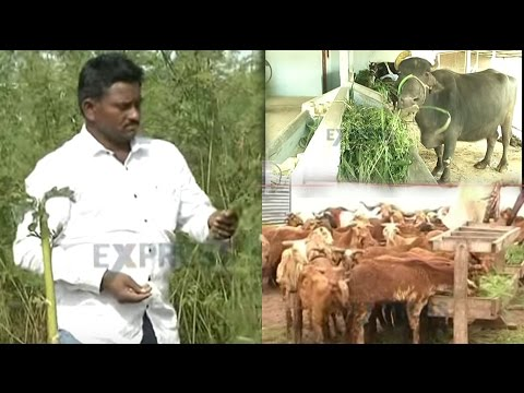 Hedge Lucerne: A boon for farmers in Legume fodder production || Nadendla Brahmaiah - Express TV