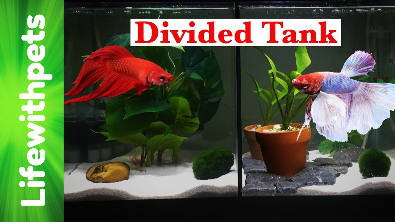 Divided betta fish 10 gallon tank tour youtube for Divided fish tank