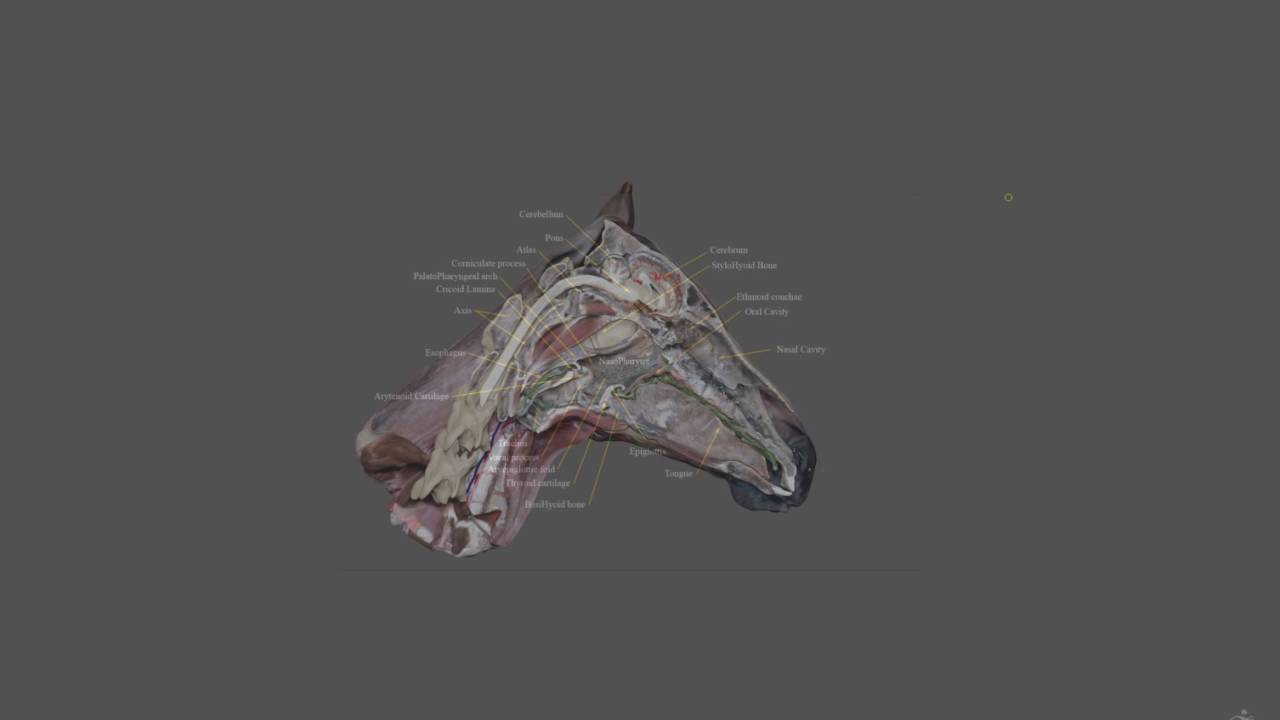 Horse Head Anatomy 3 - YouTube