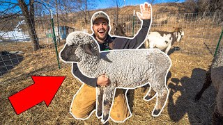 Backyard Farm SHEEP CATCH CLEAN COOK!!!