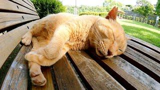 おじいちゃん茶トラ猫がベンチの上で脚を放り出して爆睡する