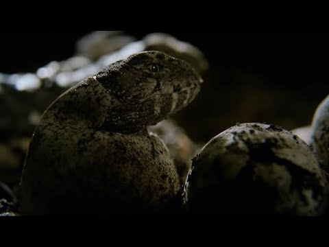 Hatching Of Tuatara Cannibals | Wild New Zealand | BBC Earth