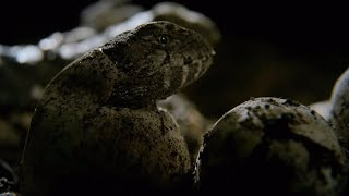 Hatching Of Tuatara Cannibals - Wild New Zealand - BBC Earth thumbnail