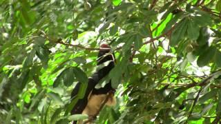 Trumpeter Hornbill. Калао-трубач (polozov 1217)
