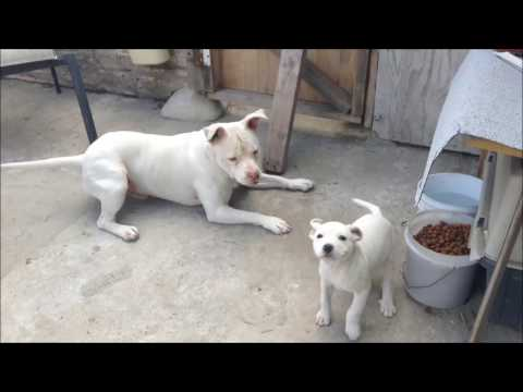 PITBULL DAD PLAYING WITH HIS PUPPY