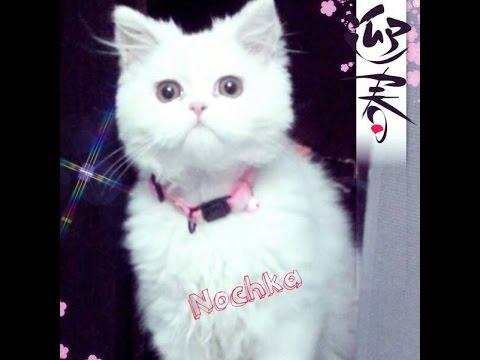 Very Funny Persian Cat! part 1   !القط الفارسي مضحك جدا