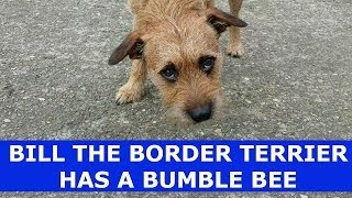 Bill The Border Terrier Has A Bumble Bee