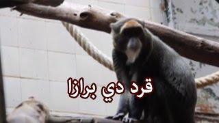 الحيوانات - قرد دي برازا