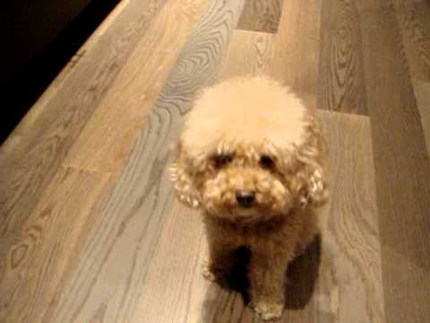 Toy poodle Monkie update - 4 in one trick