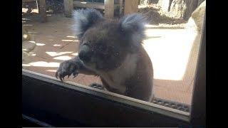 Koala Knocking On My Window - Australia
