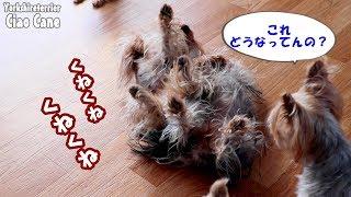 【ヨークシャーテリア専門犬舎チャオカーネ】 ある日の昼下がり #ヨーク...
