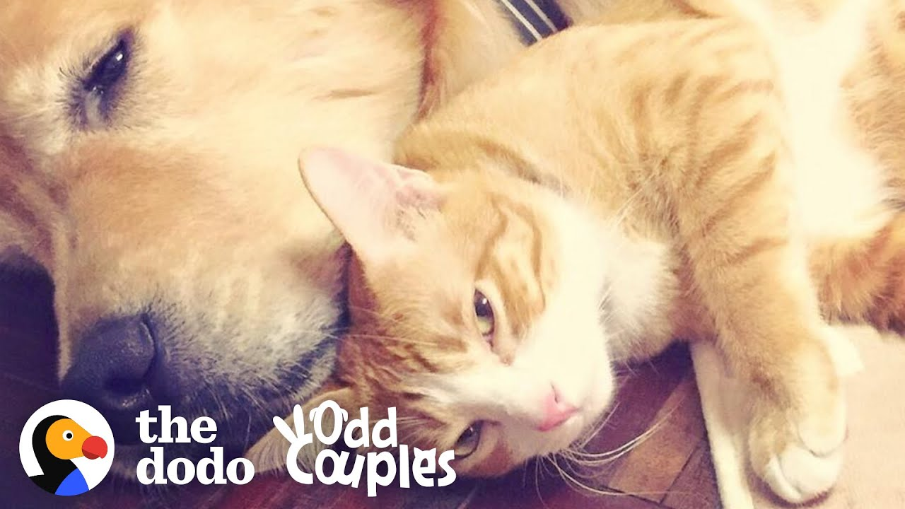 Dog's Loved His Kitten Since The Moment They Met  | The Dodo Odd Couples