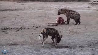 Гиена против леопарда против диких собак против гепарда сражения выживания  Страшные хищники
