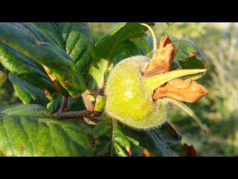 How to Grow Medlar: The Movie