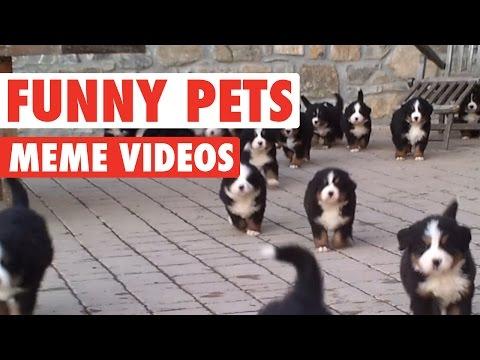 Hilarious Pet Memes Compilation 2016