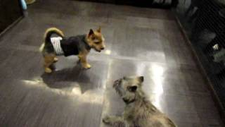 Norwich Terrier  Vs Cairn Terrier  1