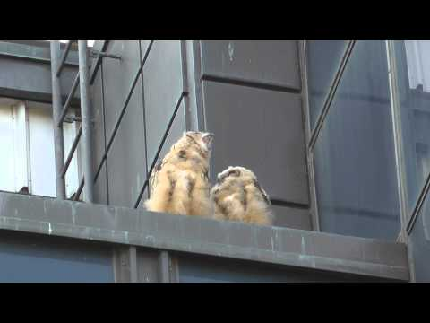 Eagle owl chicks in Helsinki city center